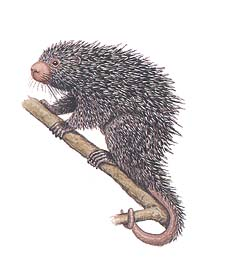 Common Porcupine image