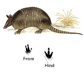 Great Long-nosed Armadillo image
