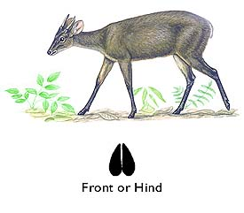 Grey Brocket Deer image