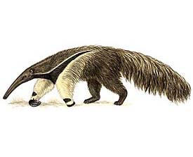 Giant Anteater image