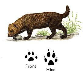 Bush Dog image
